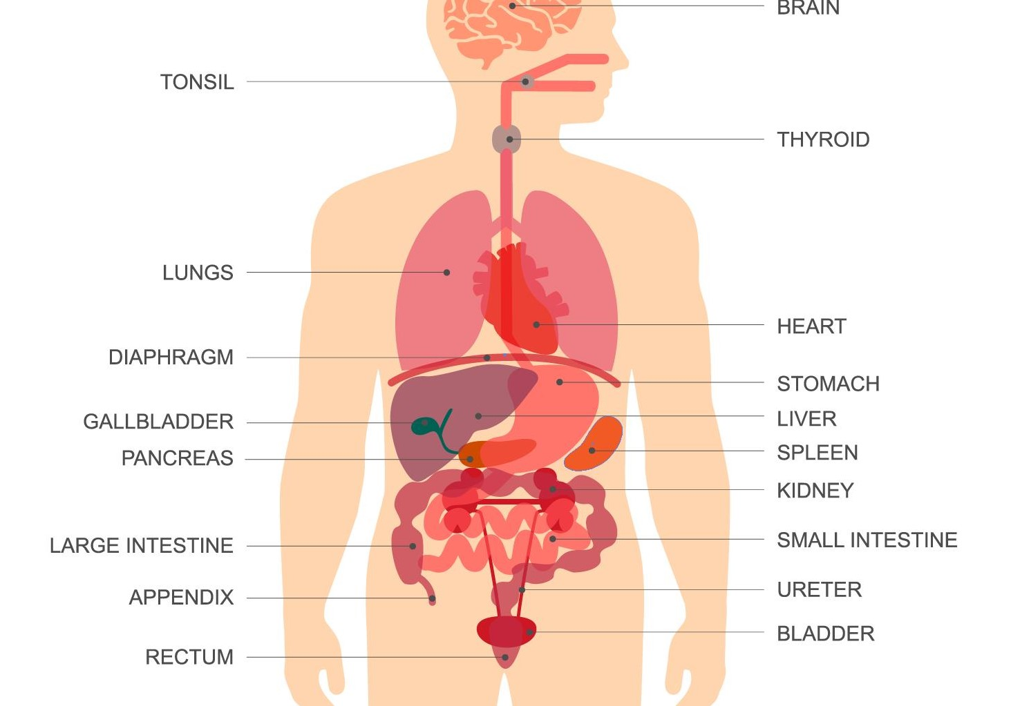 Digestive System Year 4 Hadia Ase